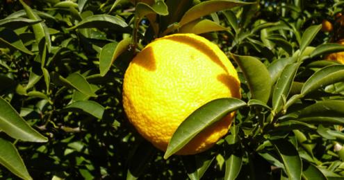 tropextrakt Yuzu-Frucht