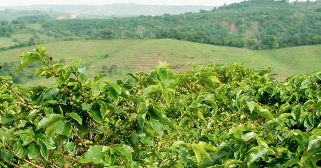 UTZ Certified Kaffeeplantage
