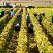 CIVB Bordeaux Weinlese