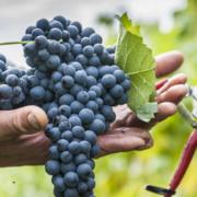 Weinfactum Bad Cannstatt Weinlese 2015