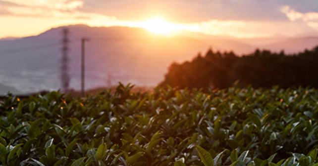 Teeanbau Plantage
