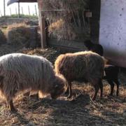 Weingut Jean Buscher Schafe