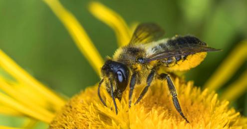 Wildbiene trinkt Blütennektar