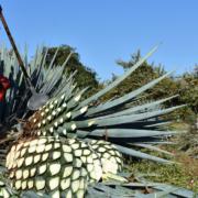 agave plantage